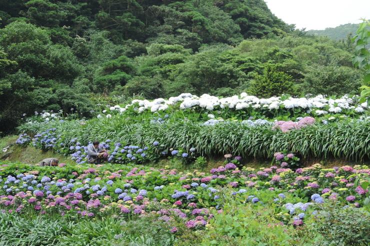 繡球花-0018
