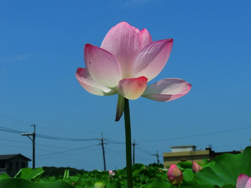 三芝蓮花-0004
