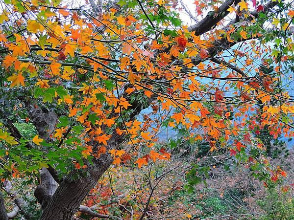 陽明山楓紅-0005