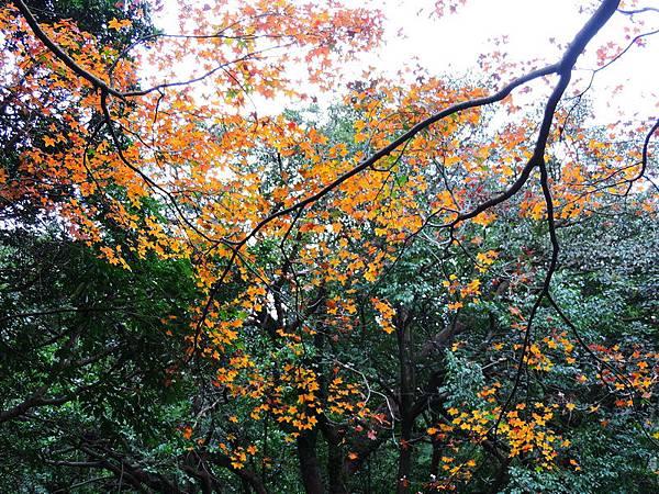 陽明山楓紅-0008