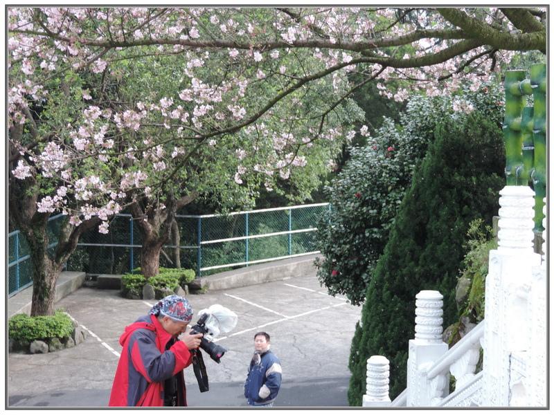 天元宮櫻花-0009