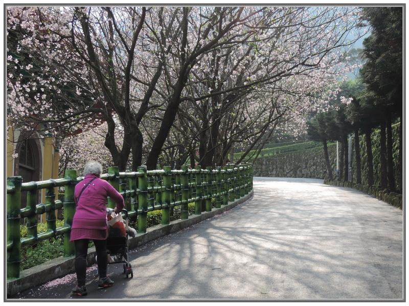 天元宮櫻花-0010