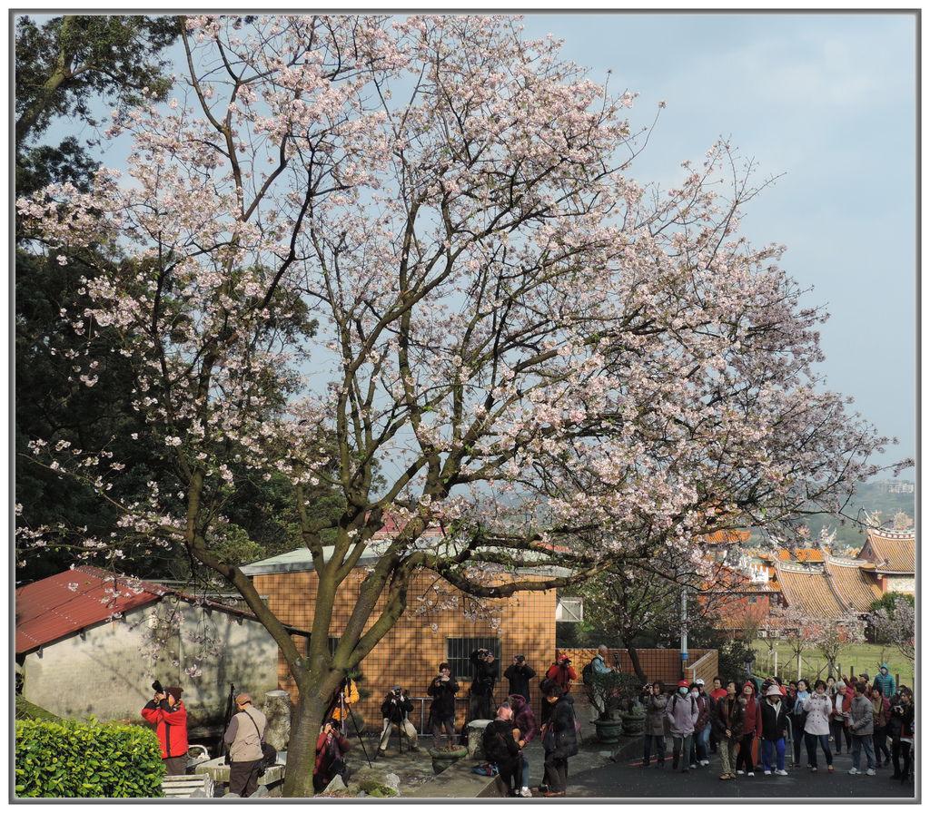 天元宮櫻花-0012