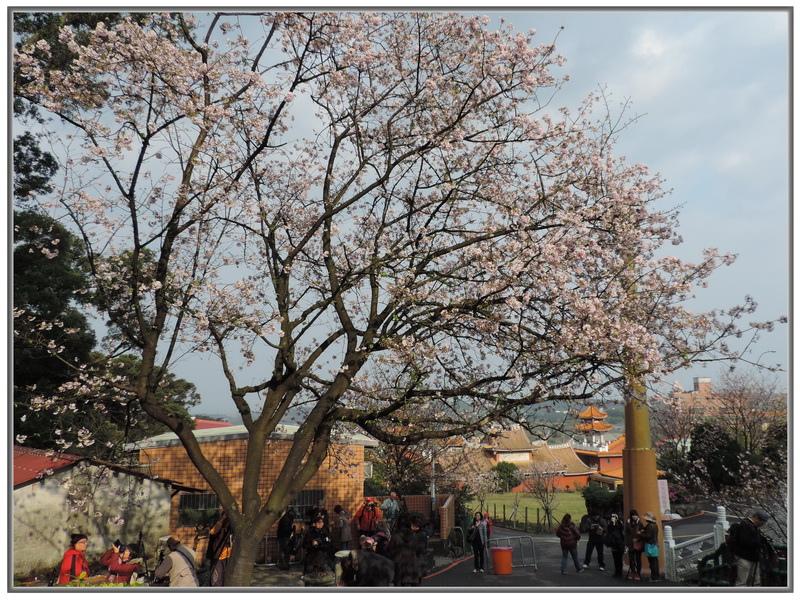 天元宮櫻花-0013