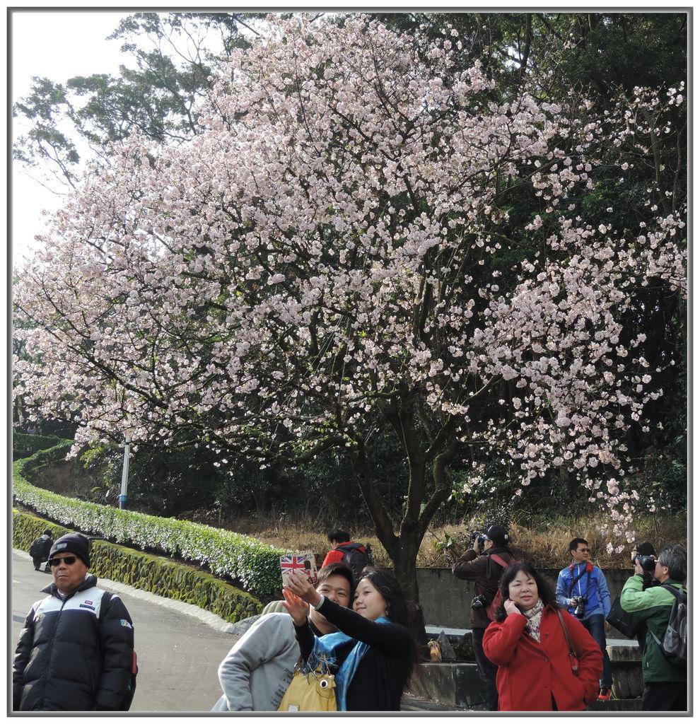 天元宮櫻花-0016