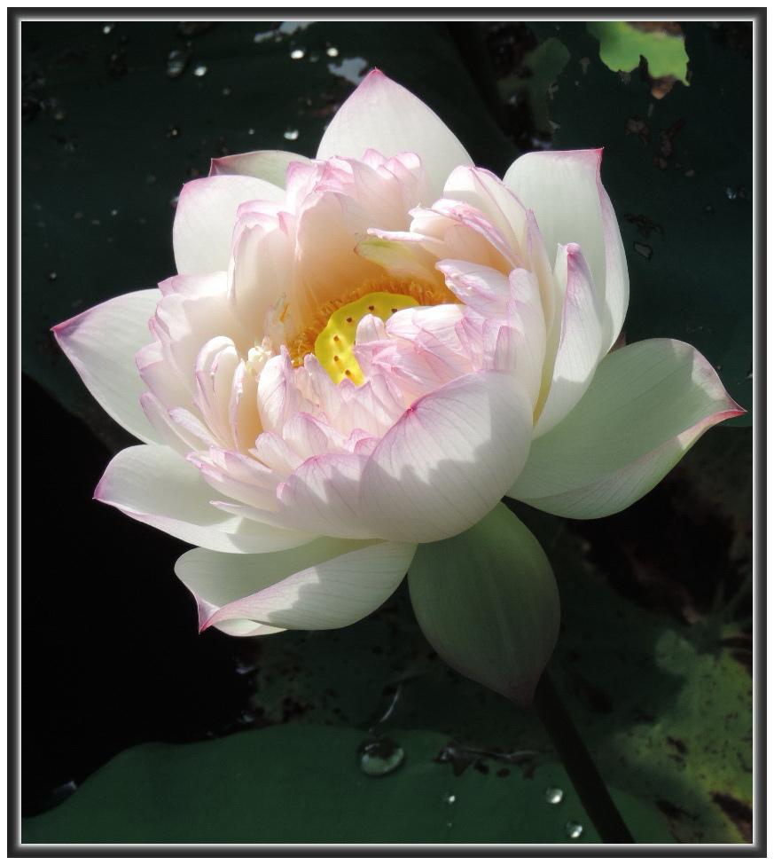 白石湖賞蓮--0008