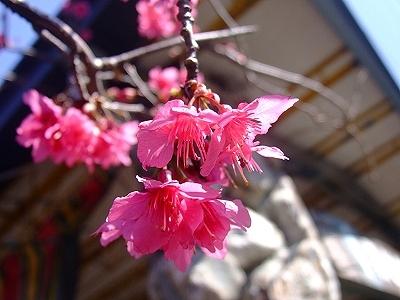 北海岸‧三芝櫻花季.jpg