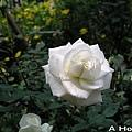2008三月大玫瑰