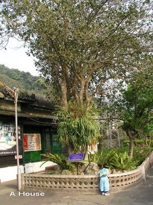 警察局旁的百年桂樹