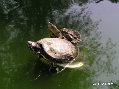 新竹動物園-烏龜1