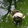 新竹動物園-烏龜2
