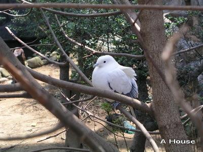 新竹動物園-白鳥