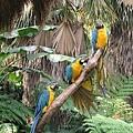 三隻藍色鸚鵡(綠世界生態農場)