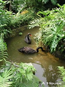 黑天鵝(綠世界生態農場)