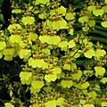 蝴蝶蘭(綠世界生態農場)