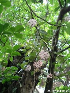 樹上垂下朵朵小花(綠世界生態農場)