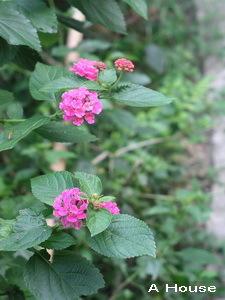 台灣路邊常見的小花