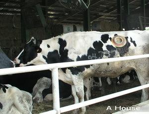 四方牧場:牛身上有大塞子?