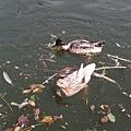 四方牧場:游水的鴨子
