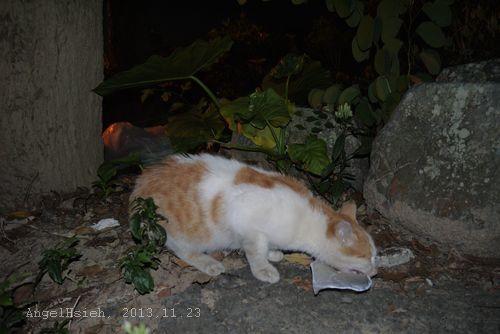 北埔秀巒公園遇到的饑餓橘白貓
