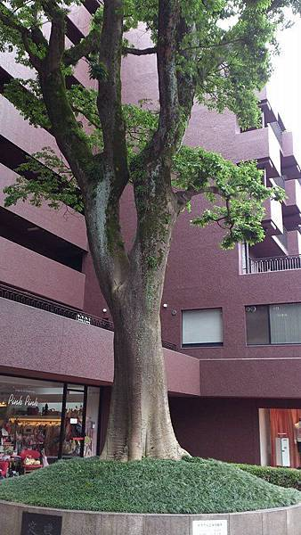 熊本市裡的神木
