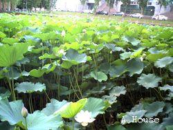 交大荷花池(2010.7) by 小玉米