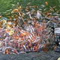 鴨子和魚搶魚飼料