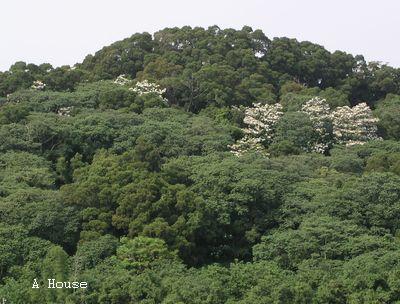 住家對面山頭的花(2010.4)