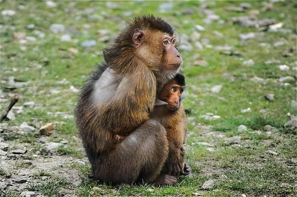 barbary-ape-384632_1280.jpg