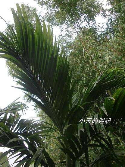 這是檳榔樹嗎3