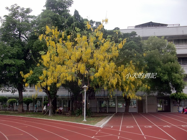 Golden Shower Tree (Cassia fistula) 阿勃勒