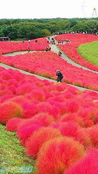日本掃帚草2.jpg