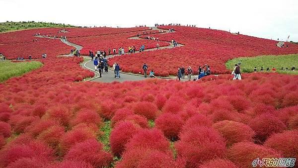 日本掃帚草1.jpg