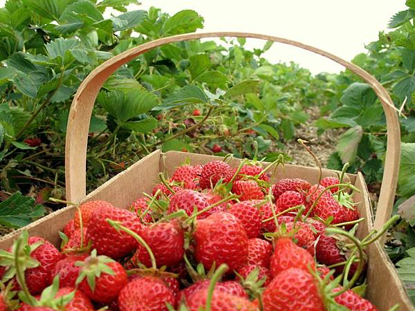 strawberryPicking-6-2006_07_06-07_19_53.jpg