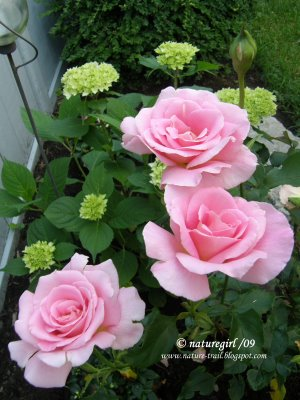 rose bed 2.JPG