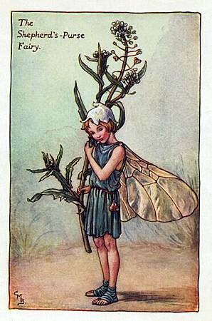 shepherds-purse-flower-fairy.jpg