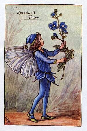 speedwell-flower-fairy.jpg