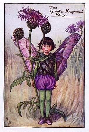 greater-knapweed-flower-fairy-.jpg