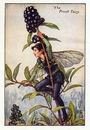 Privet Flower Fairy.jpg