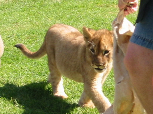 Picture 049lion.jpg