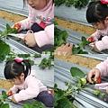 太湖觀光草莓園