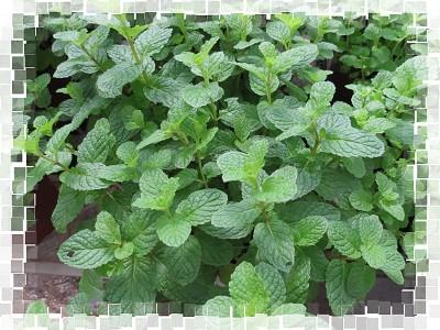 Mint - 綠薄荷