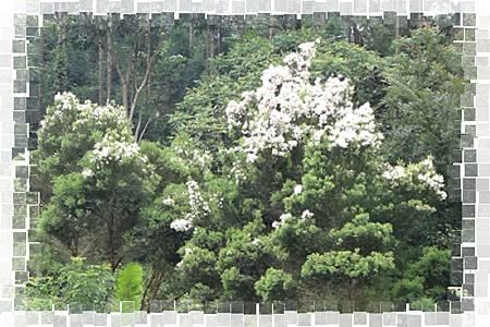 澳洲茶樹1