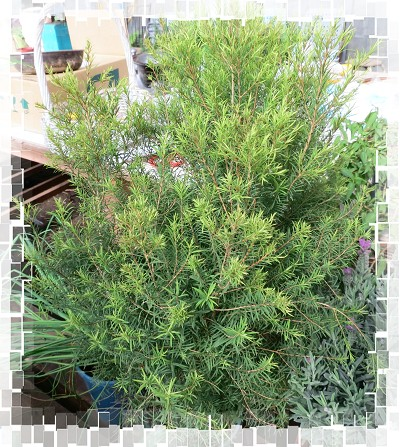 Tea Tree - 密葉