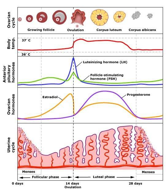 menstruation1