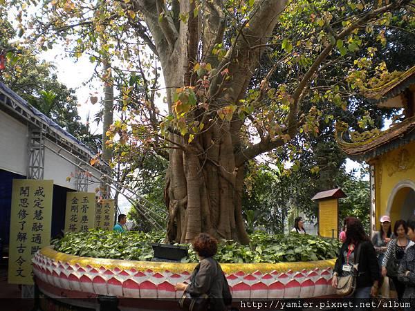 從印度移來種植的菩提樹(似迦牟尼得道的樹)