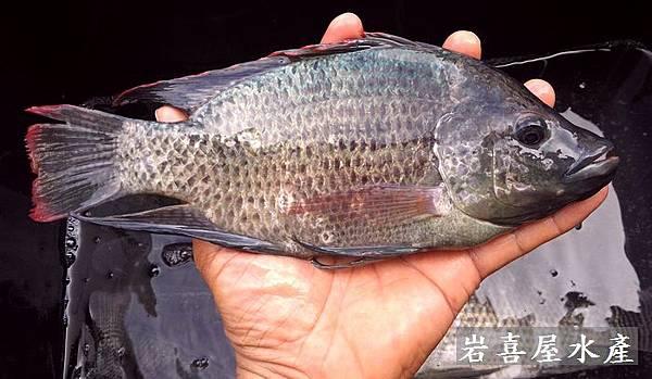 土吳郭魚2