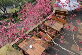 櫻花樹下的座位