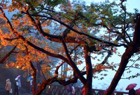 晨霧中的櫻花樹