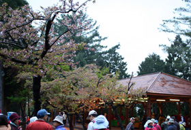 結滿水晶的櫻花樹